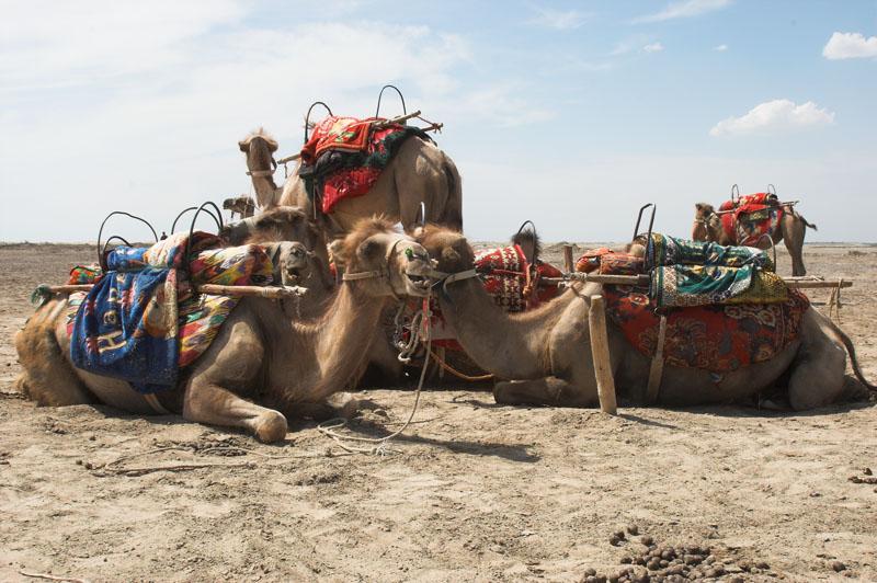 낙타 사파리