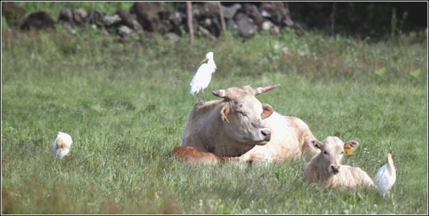황로가 소와 노니는 청초밭 영농조합의 한 들판